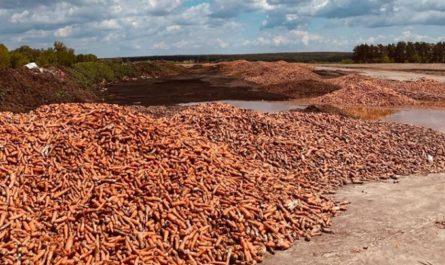 Морковь под Гостомелем